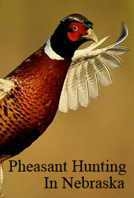 Pheasant Hunting In Nebraska