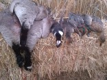 Nebraska Fall Waterfowl Guided Hunts